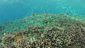Damselfish and Coral Reef stock video