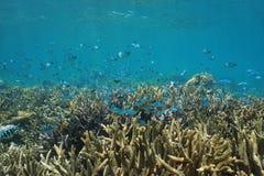Damselfish coral subaquático o Pacífico do banco de areia dos peixes Imagem de Stock