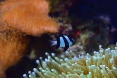 Damselfish de tres rayas con diversos corales en la anémona de mar reconocible del fondo particularmente a la derecha el abajo a  Fotografía de archivo