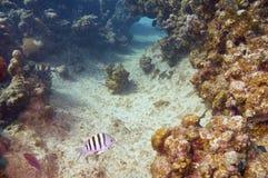 Damselfish del comandante de sargento y filón coralino Fotografía de archivo libre de regalías