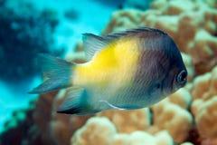 DamselFish di Yellowside, flavilatus del amblyglyphidodon Immagine Stock