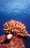 damselfish domina hawajczyk Obraz Royalty Free