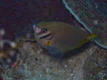 Damselfish1 dourado Fotos de Stock