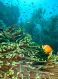 Damselfish e anemone Fotos de Stock Royalty Free