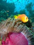Damselfish en anemoon Stock Afbeeldingen