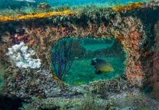 Damselfish encadré - récif artificiel d'envergure de passerelle Photo stock