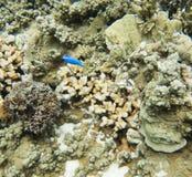 Damselfish för korall och för blå jäkel Arkivfoto
