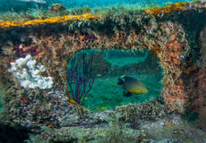 Damselfish Framed - Bridge Span Artificial Reef. A Damselfish appears framed by an opening in a bridge span, covered by many soft corals and sponges, at an Stock Photo
