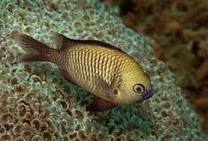 damselfish Gregory Pacific fotografia stock