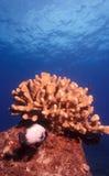 Damselfish hawaiano del dominó Imagen de archivo libre de regalías
