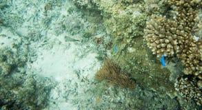 Damselfish och havsängel: Fiji Fotografering för Bildbyråer