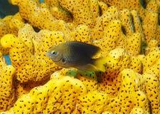 Damselfish och orange svamp Arkivbild