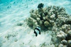 Damselfish och Surgeonfish i naturliga Coral Reef Arkivfoton