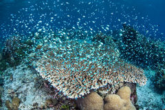 Damselfish Over Coral Reef. A diverse and healthy coral reef is home to colorful Blue-green damselfish (Chromis viridis) in Indonesia. This diverse region is Royalty Free Stock Images
