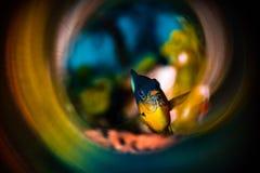 Damselfish på dörren arkivfoton