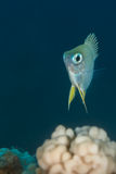 Damselfish portrait Stock Photos