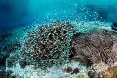 Damselfish on Shallow Reef in Indonesia Stock Images