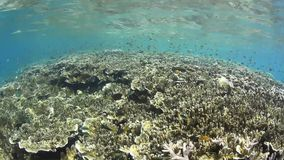 Damselfish and Shallow Reef. Palau's inner lagoon harbors plenty of shallow reef areas that serve as home to a variety of small, colorful fish and invertebrates stock video