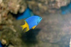 Damselfish Royalty Free Stock Image