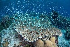 Damselfish sobre Coral Reef Imagens de Stock Royalty Free