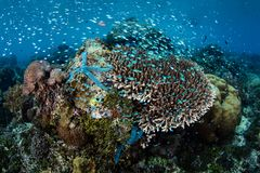 Damselfish and Starfish on Shallow Reef in Indonesia Stock Photography