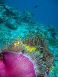 Damselfish und Anemone stockfotos