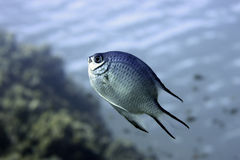 Damselfish underwater Royalty Free Stock Image