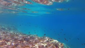 Damselfish w Med zdjęcie wideo