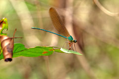 Damselflies Royalty Free Stock Images