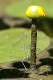 Damselflies Royalty Free Stock Photography