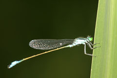 Damselflies Stock Image