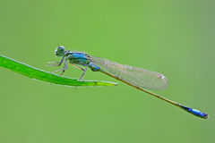 Damselflies Stock Images
