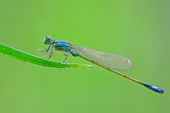 Damselflies Stock Photography