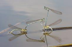 Damselflies Branco-equipados com pernas Imagem de Stock Royalty Free