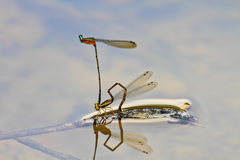 Damselflies breeding on branch Royalty Free Stock Images
