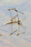 Damselflies breeding on branch Stock Photo