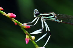 Damselflies ( Caenagrion ) Stock Photography