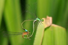 Damselflies caught in the act Royalty Free Stock Image