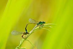 Damselflies couple stock image