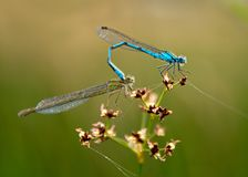 Damselflies de accouplement Images libres de droits