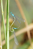 Damselflies de accouplement Photographie stock