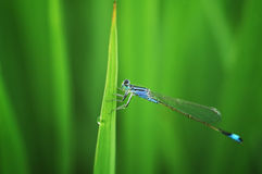 Damselflies on green leaf Royalty Free Stock Photos