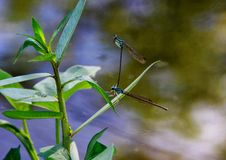 Damselflies Royalty Free Stock Photos