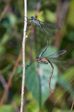 Damselflies (lestes sponsa) Royalty Free Stock Photography