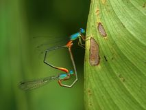 Damselflies in Love Royalty Free Stock Image