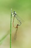Damselflies in love stock image