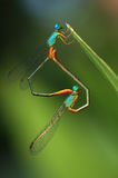 Damselflies in Love_vertical Royalty-vrije Stock Foto