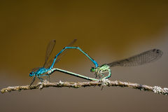 Damselflies mating. Male and female damselflies mating, creating a heart shape with their joined bodies on a small branch Stock Photos
