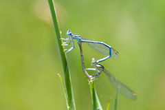 Damselflies Mating Royalty Free Stock Photos