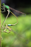 Damselflies mating Stock Photo